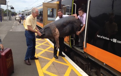 Herriot Pig on a train